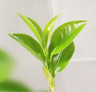 Growing Green Tea